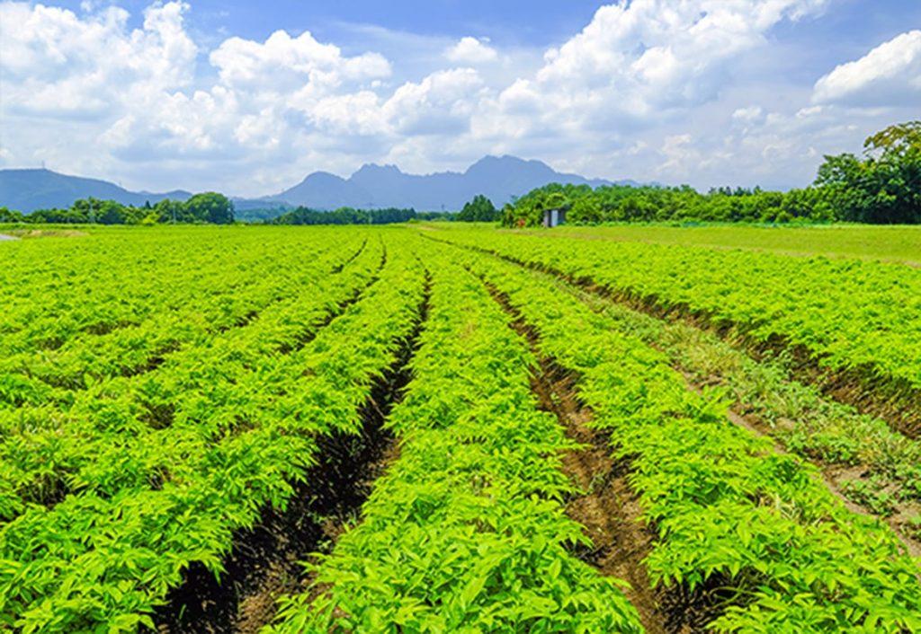 コンニャクイモの栽培畑